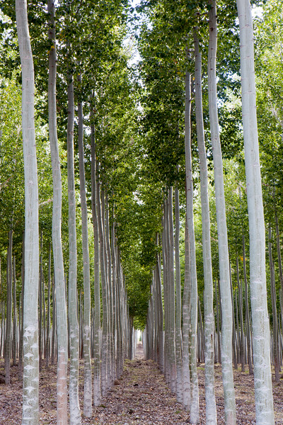 Tree Rows in Green Summer