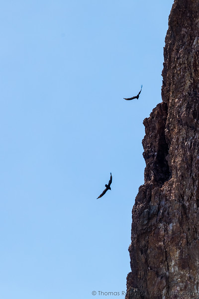 Two Falcons at Smith Rock