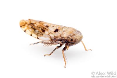 Menosoma cinctum