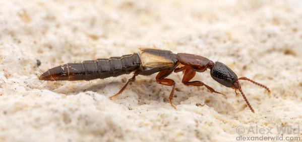 Phacophallus tricolor
