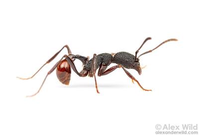 Pogonomyrmex striatinodus