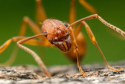Aphaenogaster texana