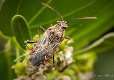 Liorhyssus hyalinus