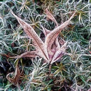Leaf and Frost