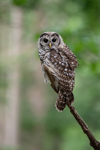 #1754 Barred Owlet