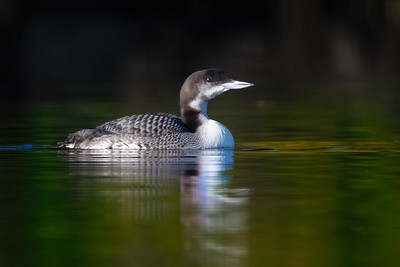 #1814 Common Loon Chick