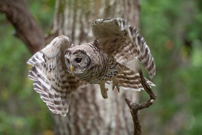 #1749 Barred Owlet