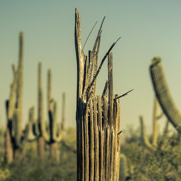Broken Saguaro