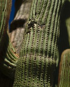 The #mesmerizingskin of this #grandfathersaguaro!