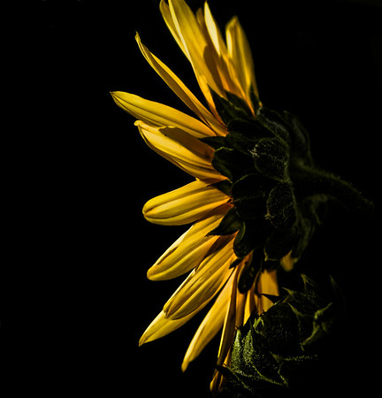 Colorado Sun Flower