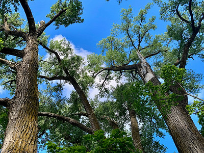 State record cottonwood trees.