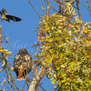 Red-tailed Hawk and Mockingbird