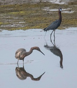 Reddish Egret and Little Blue Heron