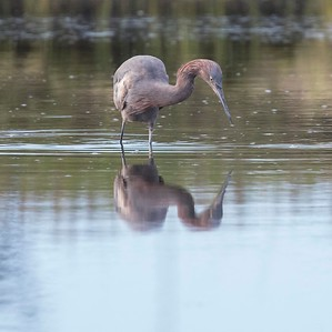 Reddish Egret & Friends