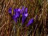 <em>Triteleia laxa</em>, Ithuriel's Spear, Grass Nut, native. <em>Themidaceae (es Liliaceae) </em> (Brodiaea family). Dunn Trail, Redwood Regional Park, Alameda Co., CA 6/6/10 jm2p1514