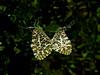Sara Orangetips, <em>Anthocharus sara</em>, mating East Ridge Road, Redwood Regional Park, Alameda Co., CA 4/7/08