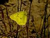 Orange Sulphur, <em>Colias eurytheme</em> East Ridge Rd., Redwood Regional Park, Alameda Co., CA 5/17/07