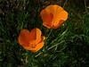 <em>Eschscholzia californica</em>, California Poppy, native. <em> Papaveraceae</em> (Poppy family). East Ridge Trail, Redwood Regional Park, Alameda Co., CA 3/22/10 jm2p982
