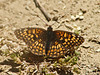 Northern Checkerspot, <em>Chlosyne palla</em> East Ridge Road, Redwood Regional Park, Alameda Co., CA  5/20/08