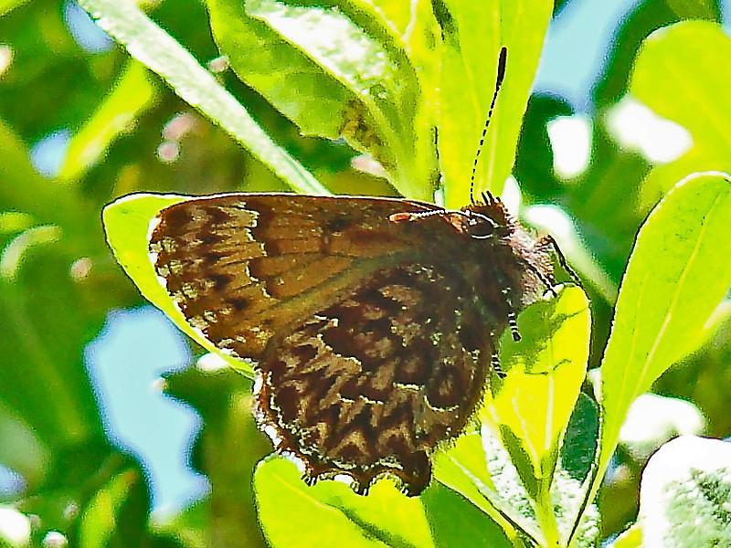 Western Pine Elfin, <em>Incisalia eryphon</em> East Ridge Trail, Redwood Regional Park, Oakland, CA  4/7/08