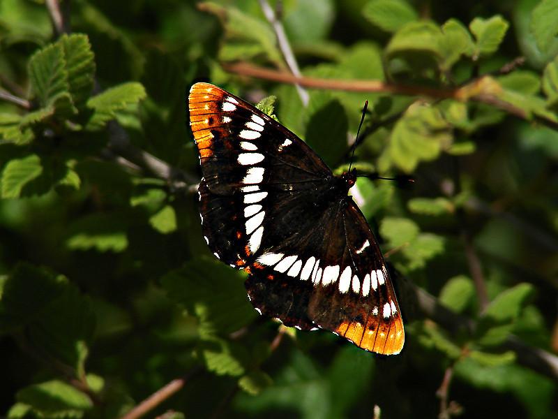 Lorquin's Admiral, <em>Limenitis lorquini</em> East Ridge Rd., Redwood Regional Park, Alameda Co., CA
