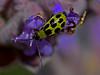 Western Spotted Cucumber Beetle, <em>Diabrotica undecimpunctata</em>.  Literally, eleven-spotted. Dunn Trail, Redwood Regional Park, Alameda Co., CA  7/2/10