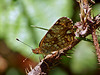 Mylitta Crescent, <em>Phyciodes mylitta</em>, m., underwing Redwood Regional Park, Alameda Co., CA  6/17/07
