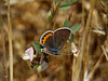 Acmon Blue, <em>Plebejus acmon</em>, f., on Spanish Lotus, <em>Lotus purshianus</em> East Ridge Road, Redwood Regional Park, Alameda Co., CA  7/11/09