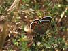 Acmon Blue, <em>Plebejus acmon</em>, f. on <em>Lotus purshianus</em> East Ridge Rd., Redwood Regional Park, Alameda Co., CA  5/17/07