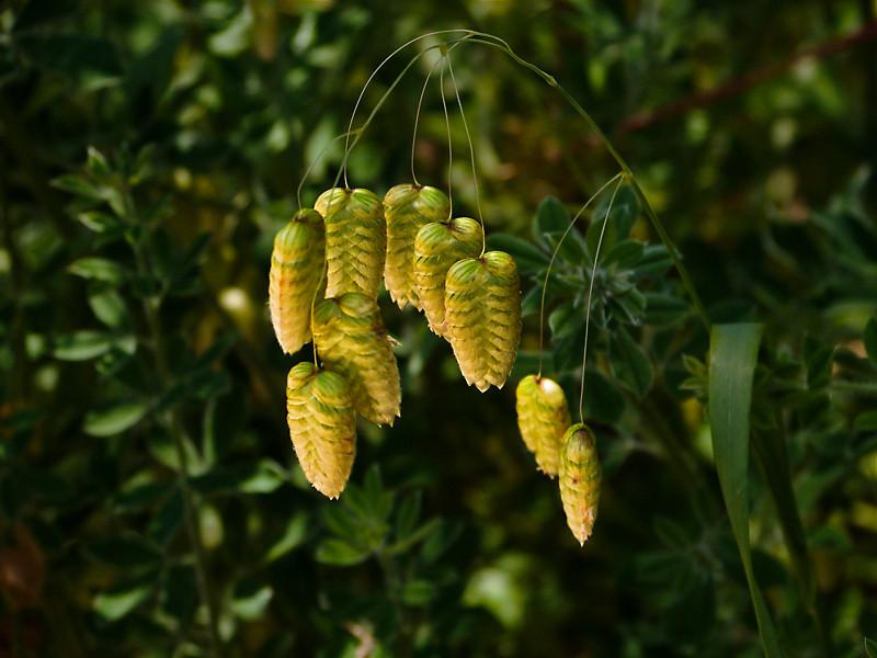 <em>Briza maxima</em>, Quaking Grass,  Europe.  <em>Poaceae</em> (=<em>Gramineae</em>, Grass family). East Ridge Trail, Redwood Regional Park, Alameda Co., CA 5/20/08 jm2p1426