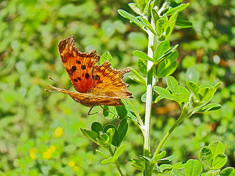 Oreas Anglewing, <em>Polygonia oreas</em> on French Broom East Ridge Road, Redwood Regional Park, Alameda Co., CA 3/8/08