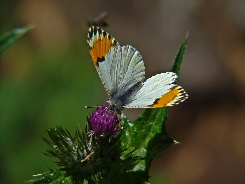 Sara Orangetip, <em>Anthocharis sara</em> ♀ East Ridge Trail, Redwood Regional Park, Alameda Co., CA 4/23/10