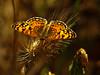 Mylitta Crescent, <em>Phyciodes mylitta</em>, light m. East Ridge Trail, Redwood Regional Park, Alameda Co., CA  8/31/09