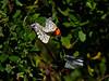 Sara Orangetip, <em>Anthocharus sara</em>.   Mating male flashes orange to warn off approaching male. East Ridge Road, Redwood Regional Park, Oakland, CA 4/7/08