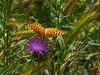 Crown Fritillary, <em>Speyeria coronis</em> East Ridge Trail, Redwood Regional Park, Alameda Co., CA 6/19/09