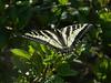 Pale Swallowtail, <em>Papilio eurymedon</em> East Ridge Trail, Redwood Regional Park Alameda Co., CA                    5/19/08