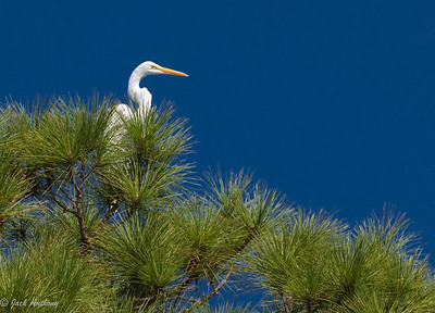 Great White Heron, Cape San Blas, Fla.