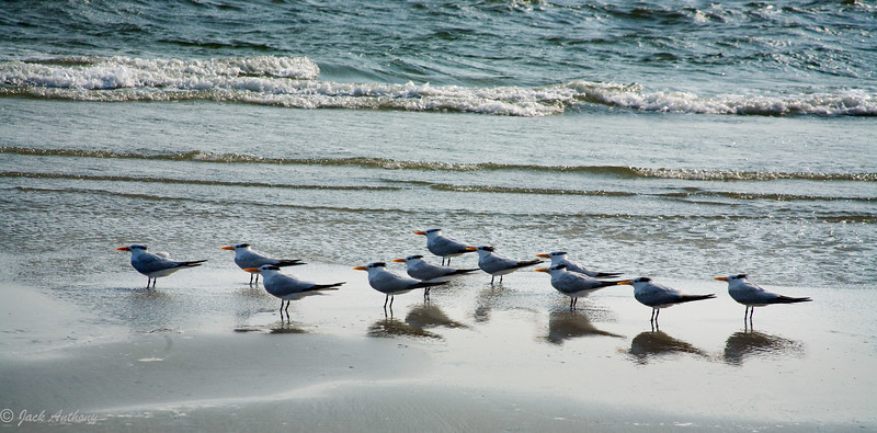 Royal Terns in a Row, Edisto Island, SC