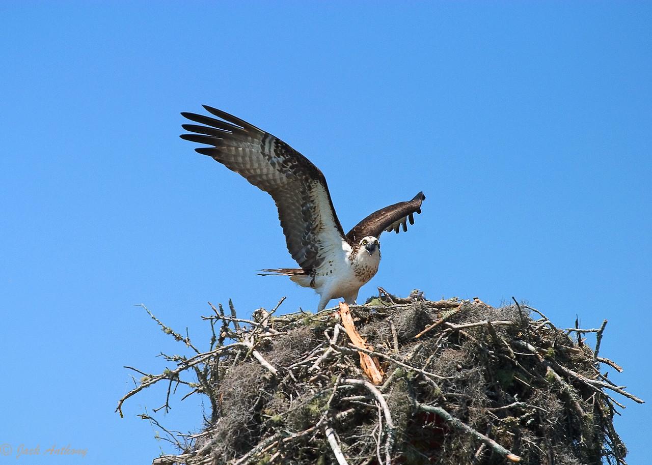 Fish Hawk (osprey) protecting her brood.