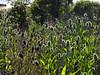 <em>Dipsacus sativus</em>, Fuller's Teasel, Europe. <em> Dipsacaceae </em>(Teasel family). Old St. Hilary's Open Space Preserve, Tiburon, Marin County, CA 6/13/10