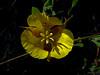 <em>Calochortus luteus</em>, Yellow Mariposa Lily, native. <em> Liliaceae</em> (Lily family). Old St. Hilary's Open Space Preserve, Tiburon, Marin County, CA