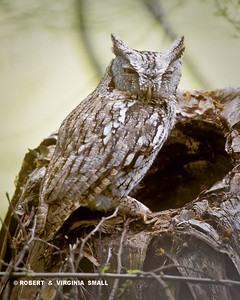 SCREECH-OWL IN RIPARIAN THICKET