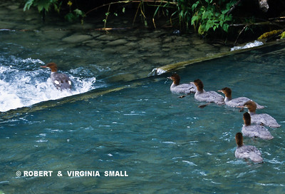 MERGANSER FLEDGLINGS  HEADING FOR THE WATERFALL