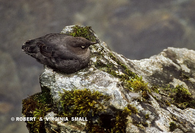 AMERICAN DIPPER ON A MOSSY ROCK