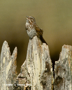 SONG SPARROW SINGING  ON AN OLD FENCE
