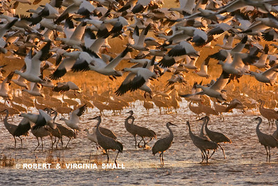 SANDHILL CRANES AND SNOW GEESE AT SUNRISE