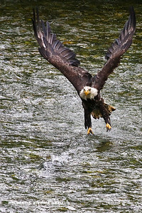 BALD EAGLE CHASING A CHUM SALMON