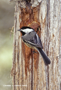 BLACK-CAPPED CHICKADEE  WORKING ON A CAVITY NEST