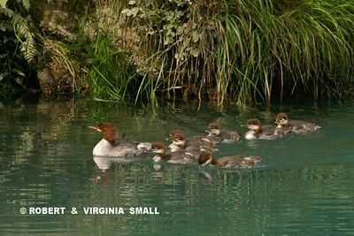 COMMON MERGANSER  WITH BROOD OF FLEDGLINGS