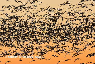 SNOW GEESE SILHOUETTED AT SUNSET